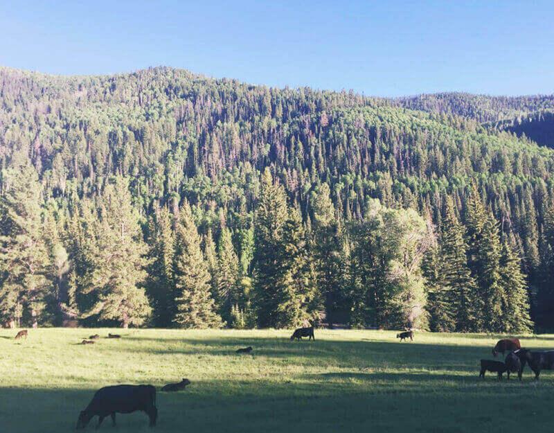 Colorado cows