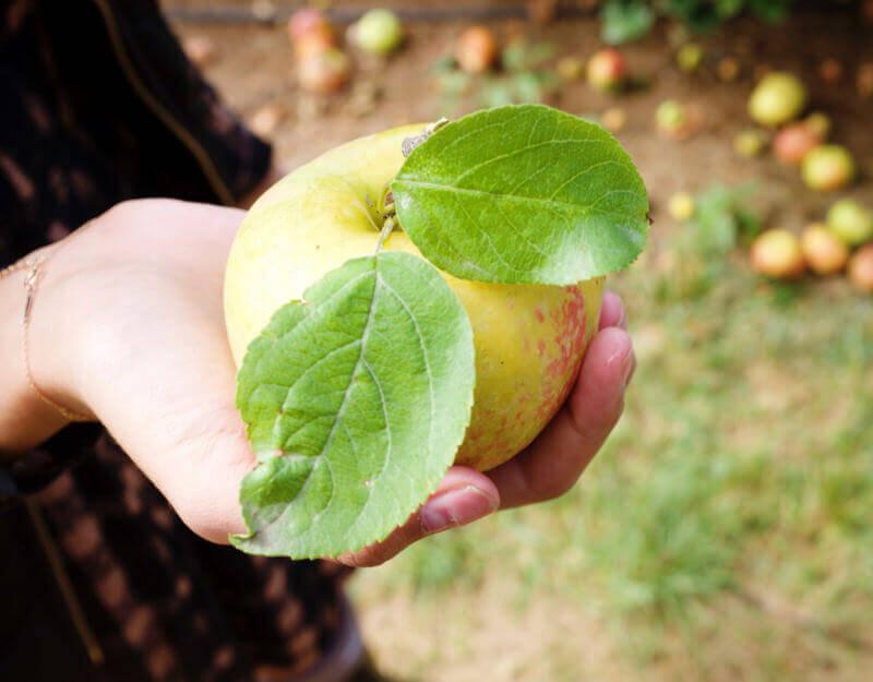 She's So Bright - Honeycrisp apple close up