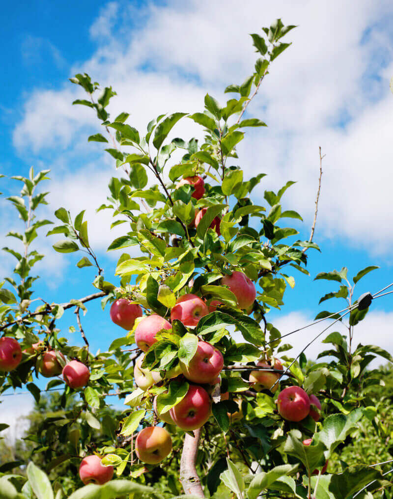 She's So Bright - Fuji apple tree with gorgeous apples