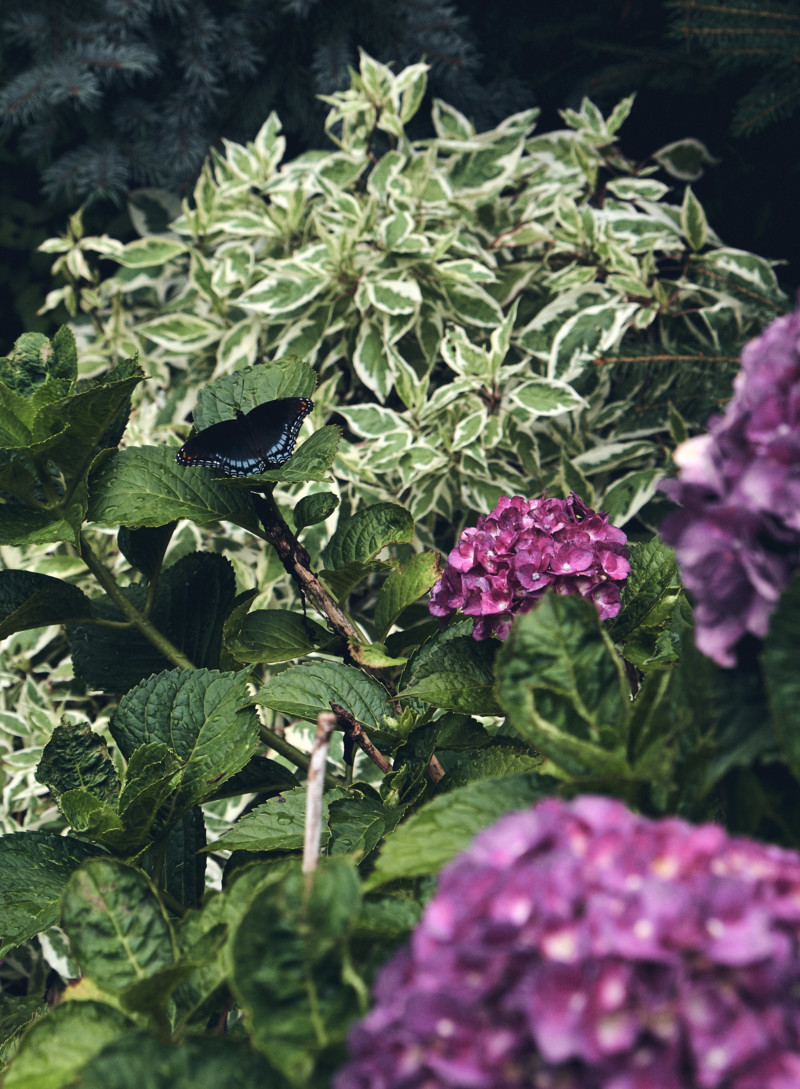 Thoughts for the Weekend and How I'm Staying Sane the Rest of the Summer. Butterfly, hydrangea bush, moody.