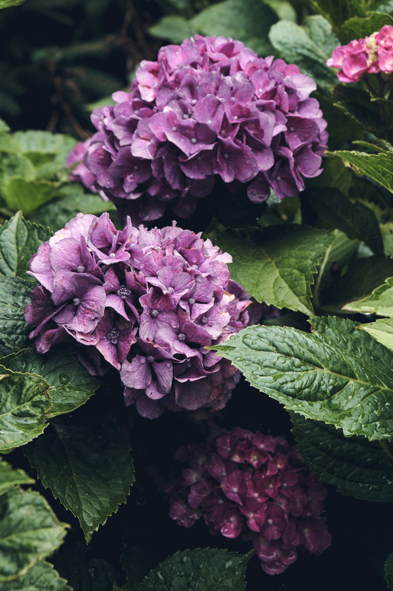 Thoughts for the Weekend and How I'm Staying Sane the Rest of the Summer. Hydrangea flower, botanical.