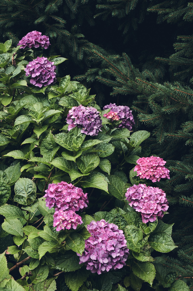 Thoughts for the Weekend and How I'm Staying Sane the Rest of the Summer. Hydrangea bush.