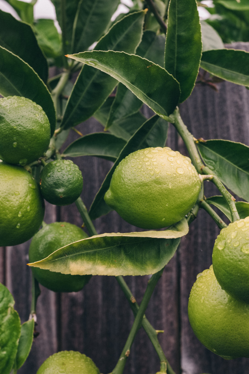 She's So Bright - A Moody Little California Lime, botanicals, plant, fruit, photography.