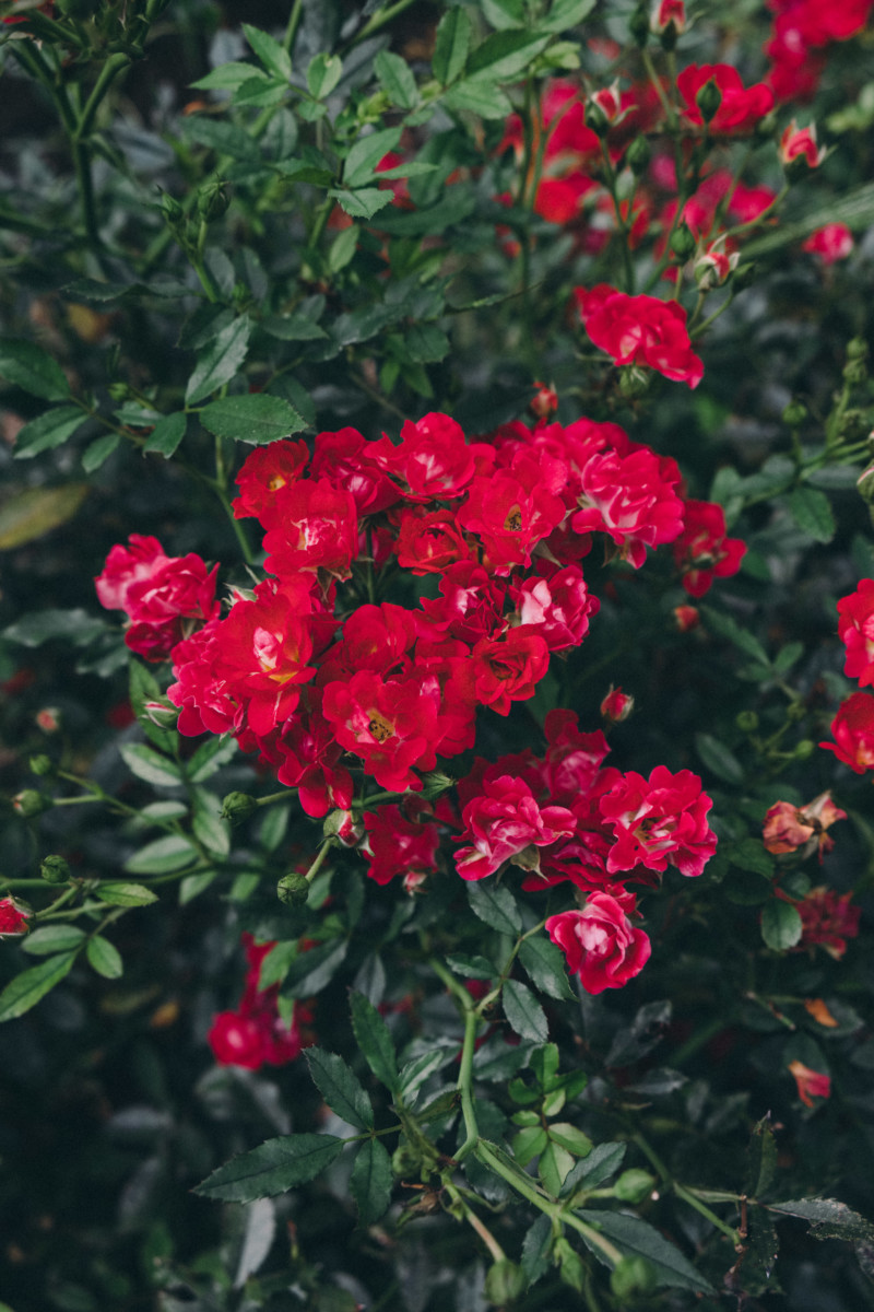 She's So Bright - Thoughts for the Weekend and Looking Forward to Fall, Moody Flowers, Landscape, Garden, Roses