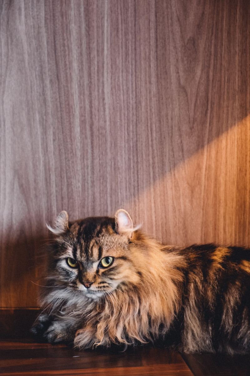 Scenes from a Tokyo Cat Cafe - She's So Bright, Cats, Kitties, Tokyo, Persian, Cute, Aww, Adorable, Animals, Kittens